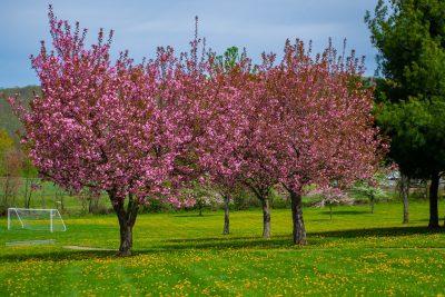 春天花园草地上开花的樱花树