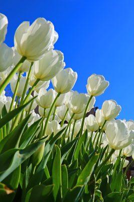 郁金香、白、花卉