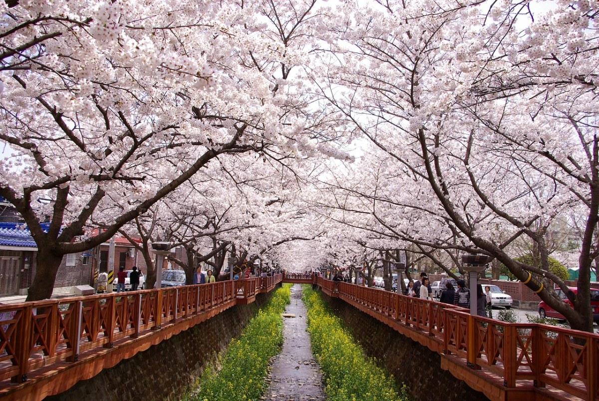 公园的樱花盛开