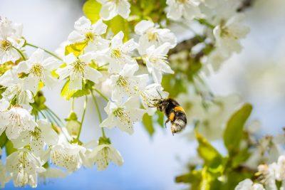 春天的蜜蜂采花