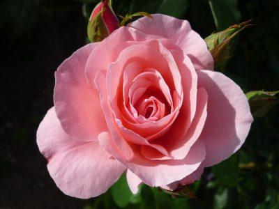 粉色的月季花