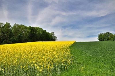 黄色油菜花田与绿色农作农业风景