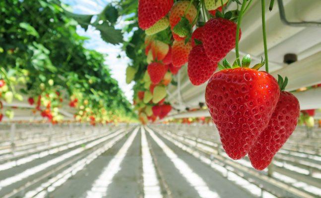 草莓园的草莓