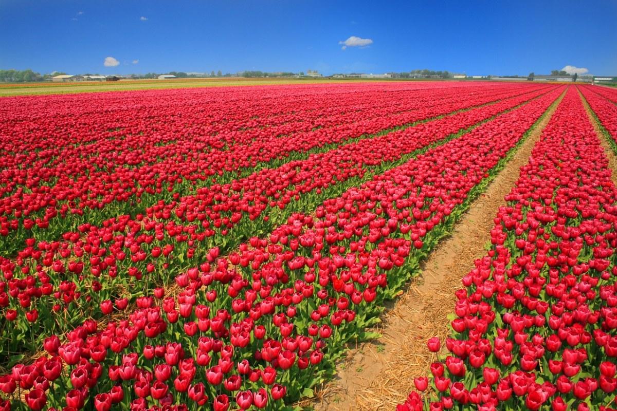 红色的郁金香种植基地