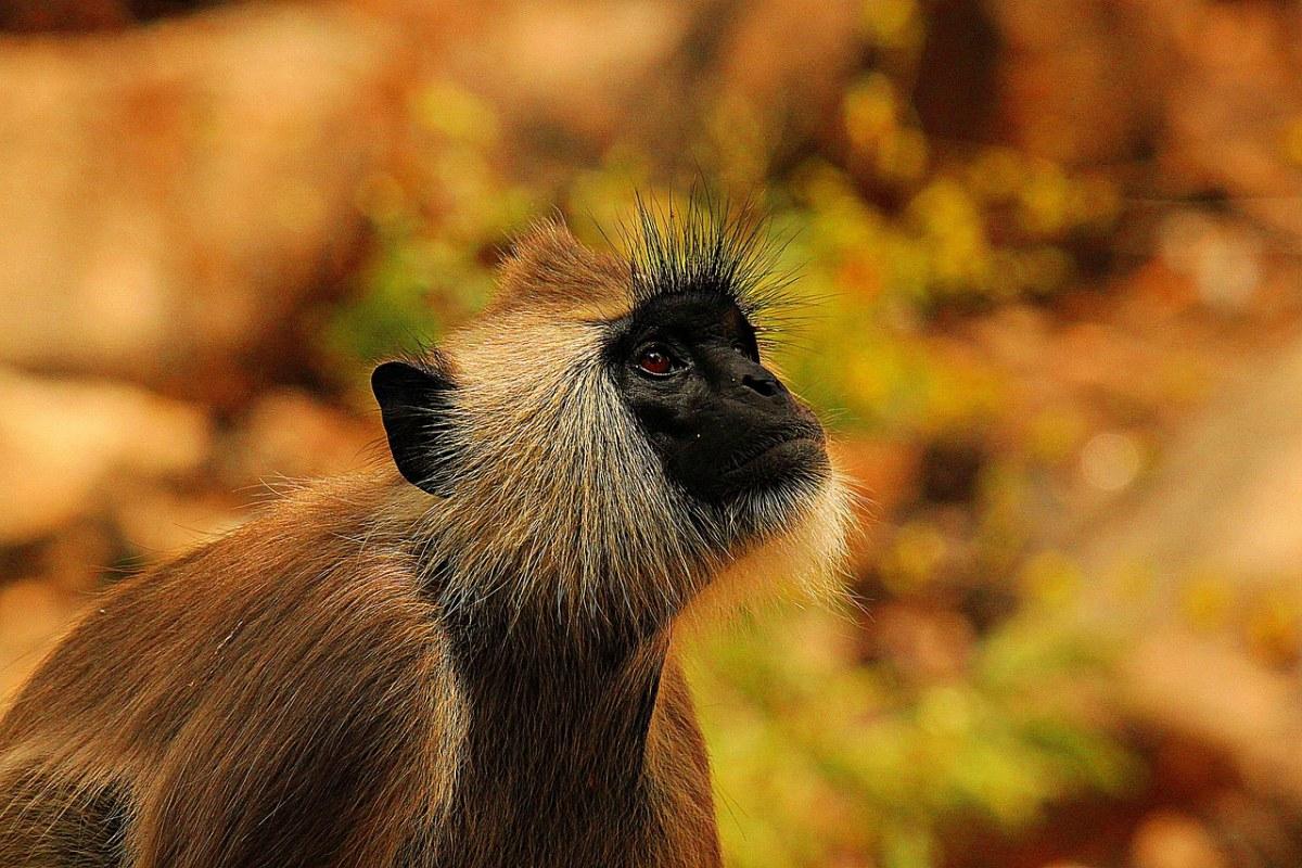 猴子、黑脸、长尾黑颚猴