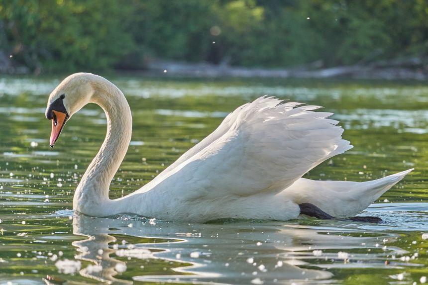 水中的白天鹅