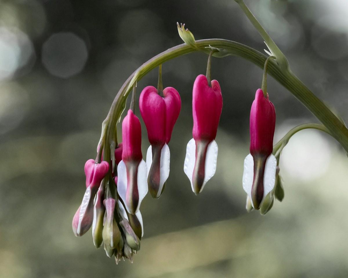 流血的心、花、水华