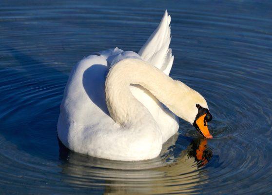 天鹅、白、水