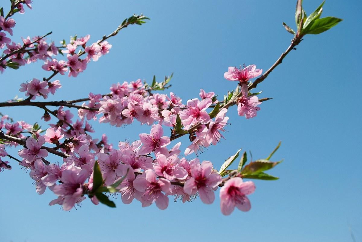 盛开的几枝桃花