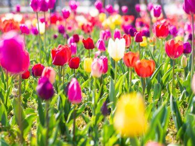 鲜艳的郁金香花