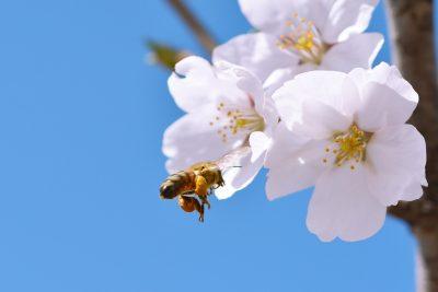 蜜蜂与白色的樱花特写