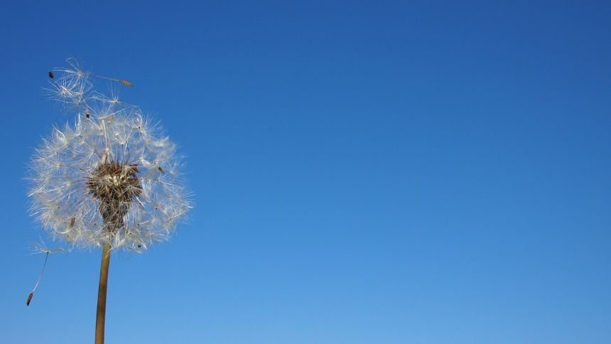 蒲公英、孢子、风