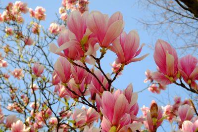 春天的玉兰花开