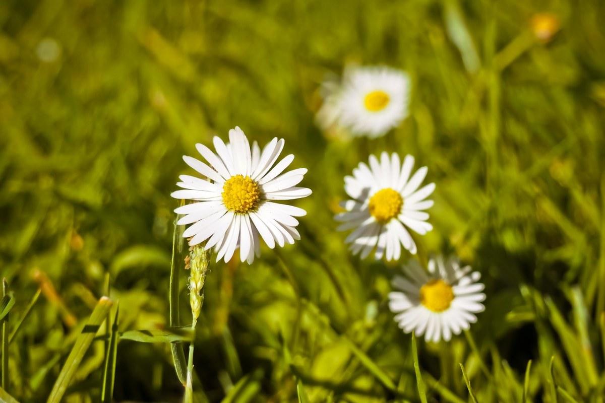 白色的雏菊小花朵