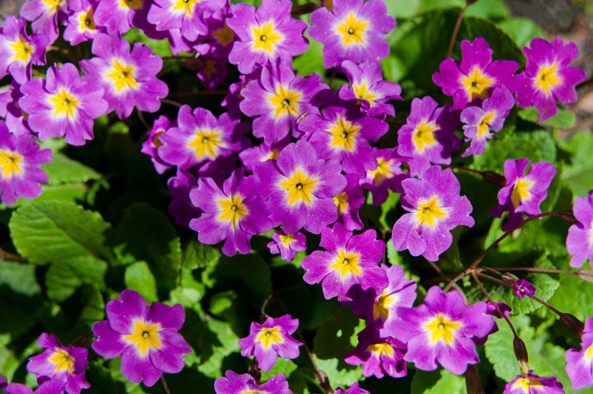 紫色的报春花背景图