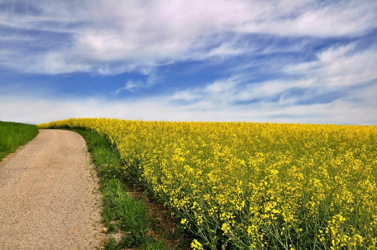 盛开的油菜花田边的道路