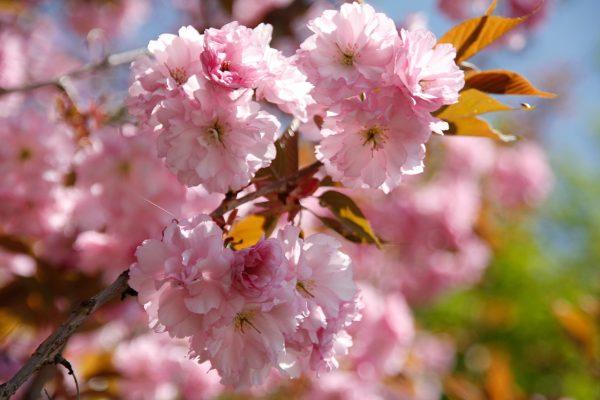 春天粉红色的樱花花朵图片