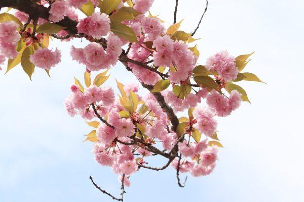 春天的粉红色樱花花朵