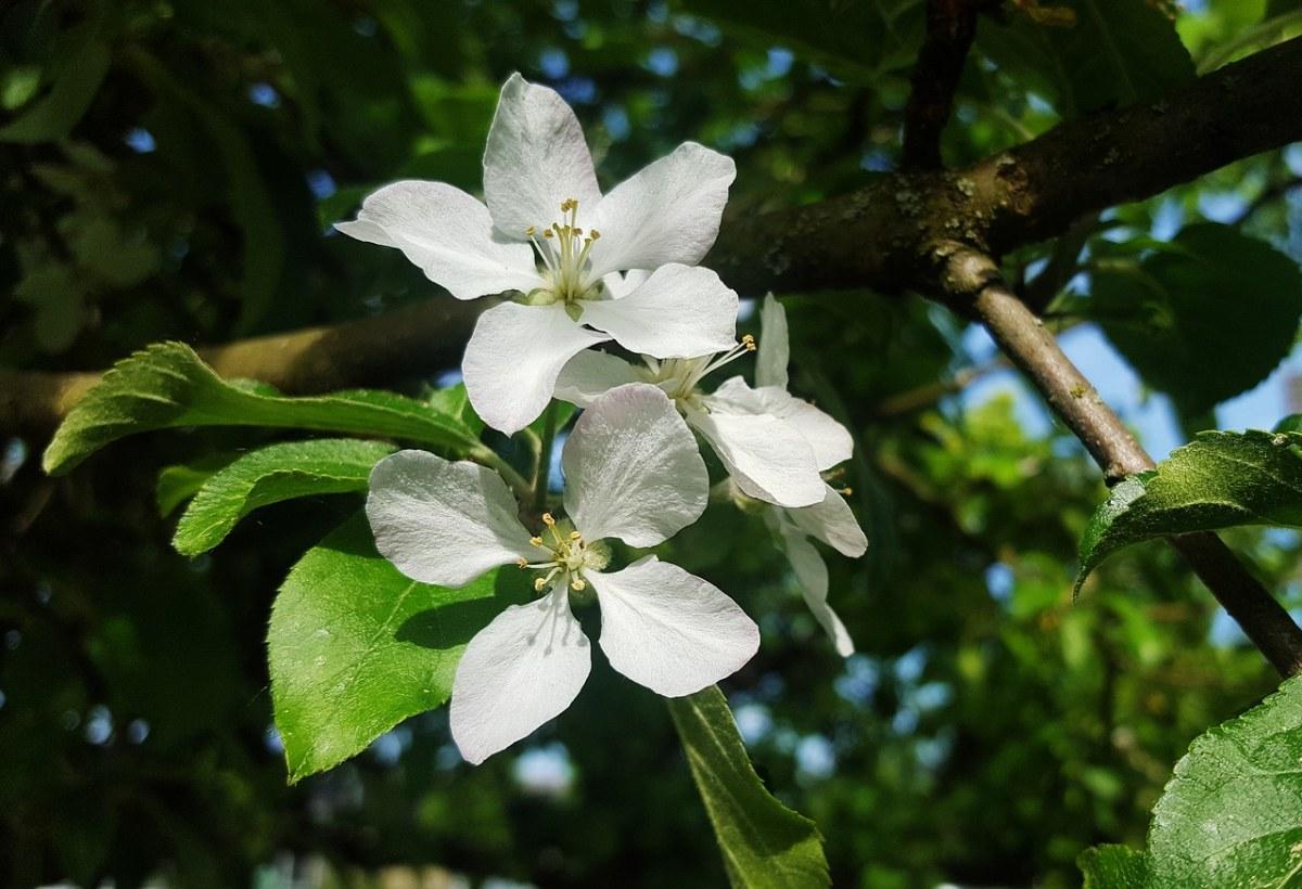 白色的海棠花特写
