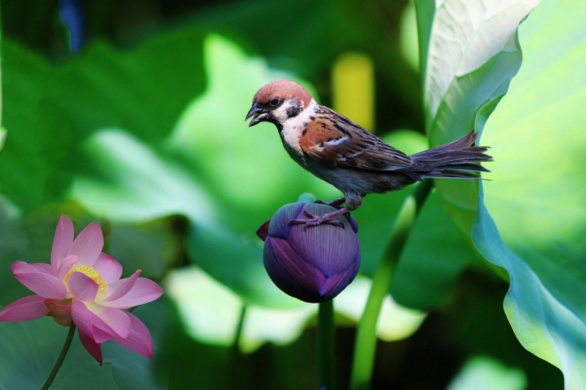 荷花与小鸟