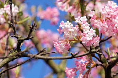 春天花朵上的蜜蜂