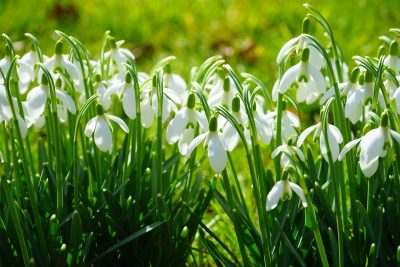 雪钟花植物花朵图片