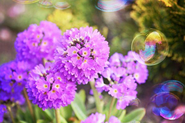 阳光下的报春花与肥皂泡