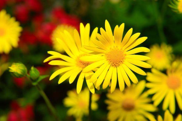 盛开的黄金菊花图片