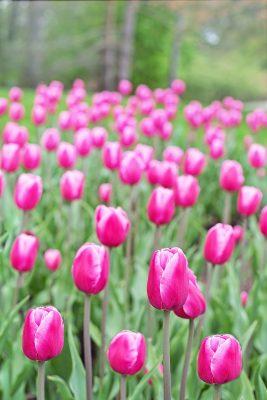 郁金香、粉红色、光明