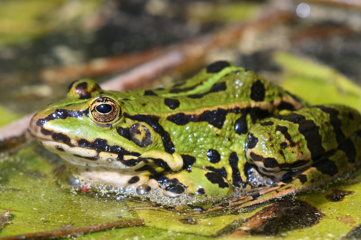 两栖动物青蛙
