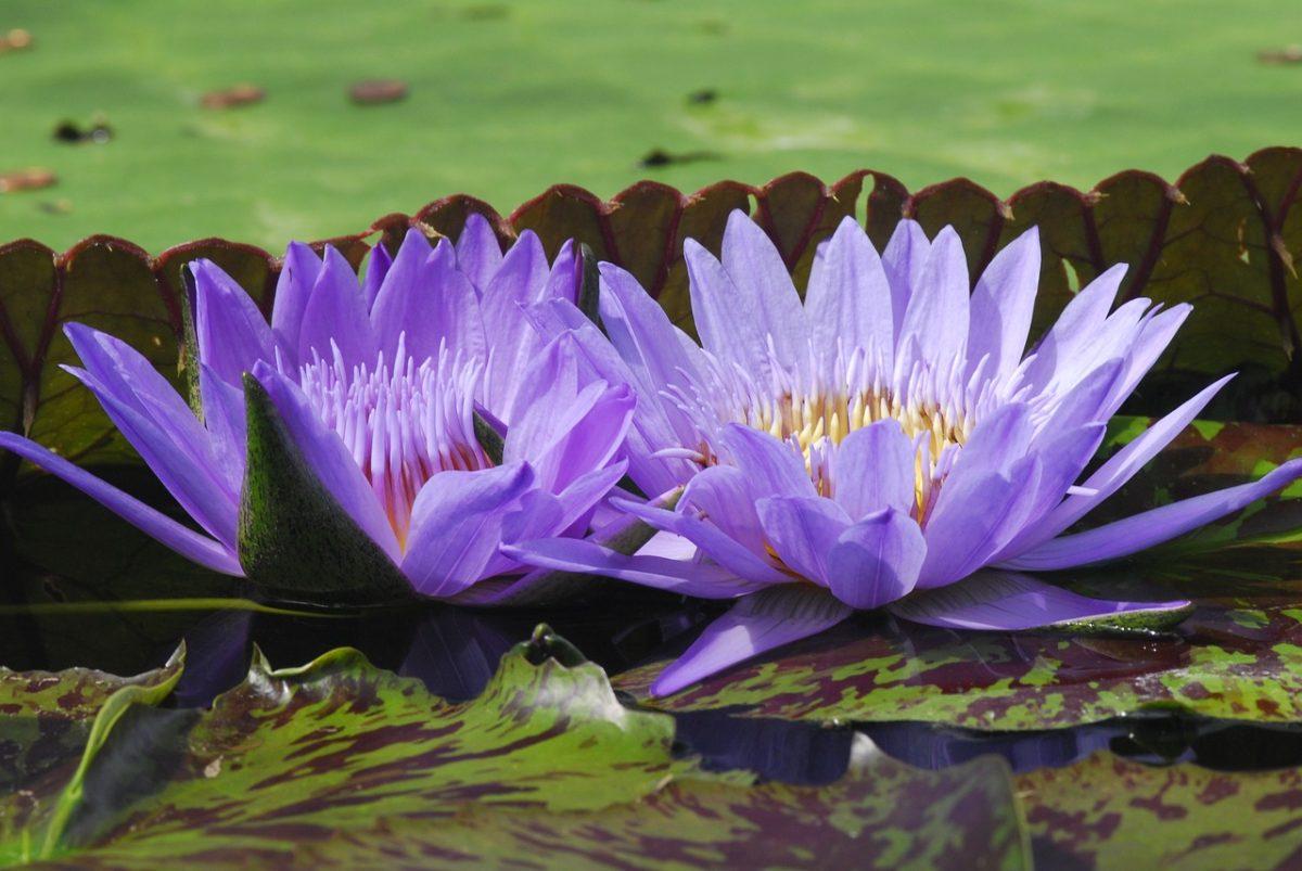 紫色的延药睡莲花