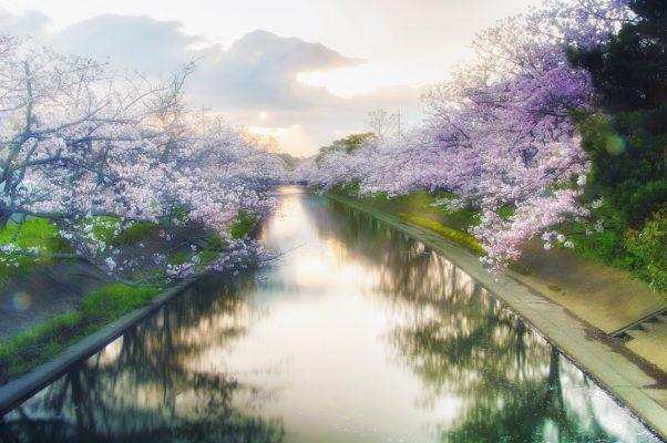 河道两岸的盛开的樱花树