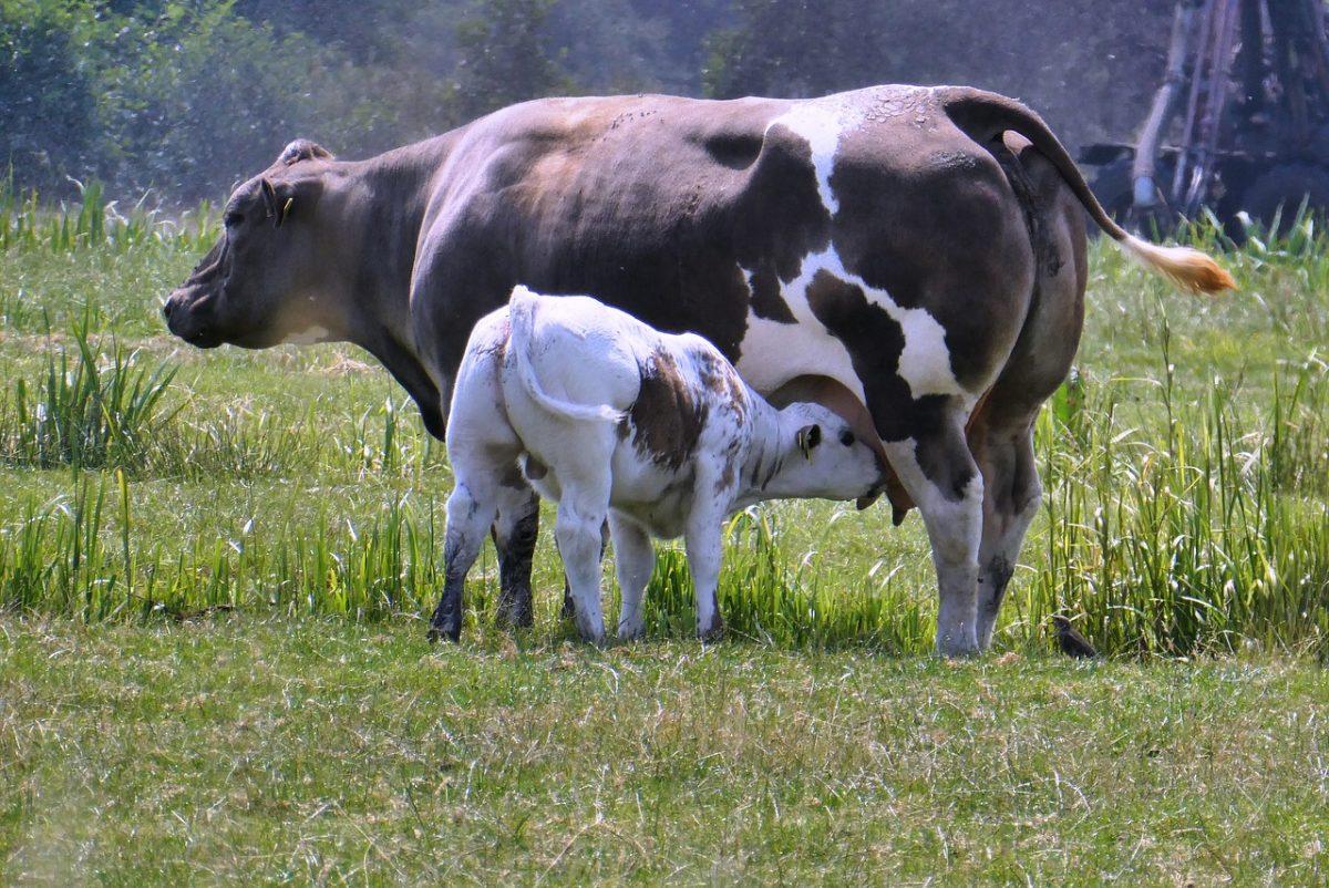 正在哺乳的牛