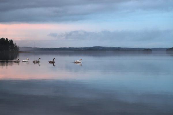 天鹅、性质、和平