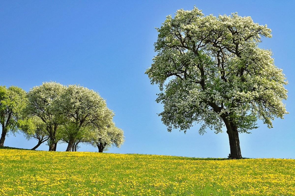 春天草地上的花海与梨花开花春景图