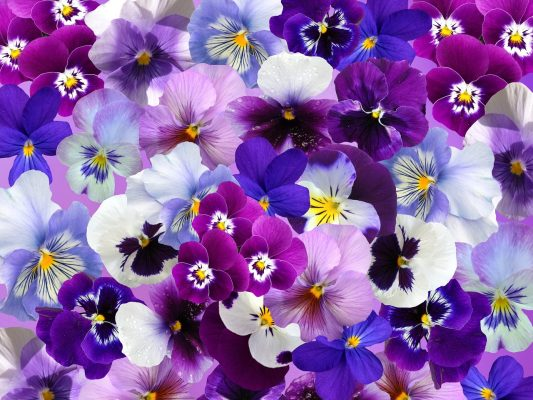 三色堇花的背景图