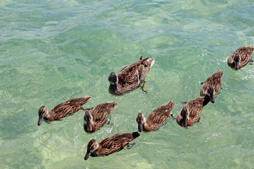水中的野鸭鸭群