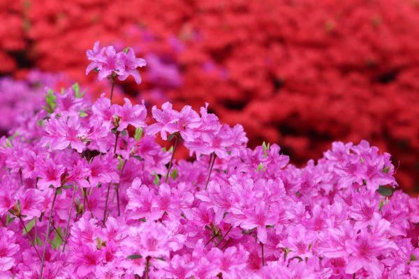 鲜艳的杜鹃花背景图
