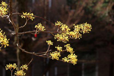 山茱萸(药枣)开花