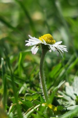 一朵白色的野菊花