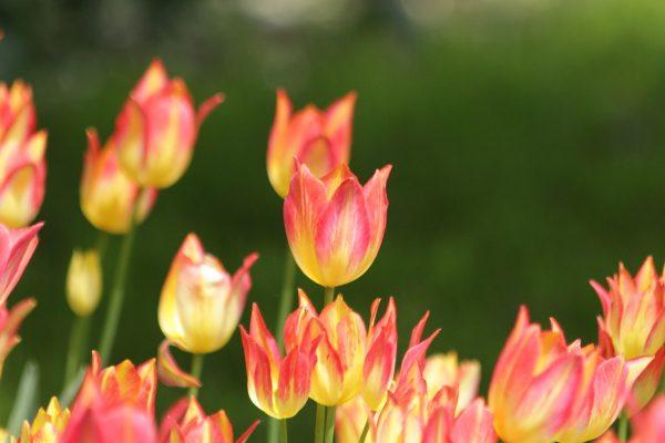 郁金香、鲜花、性质