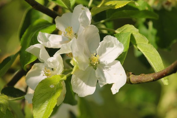 阳光下盛开的白色海棠花