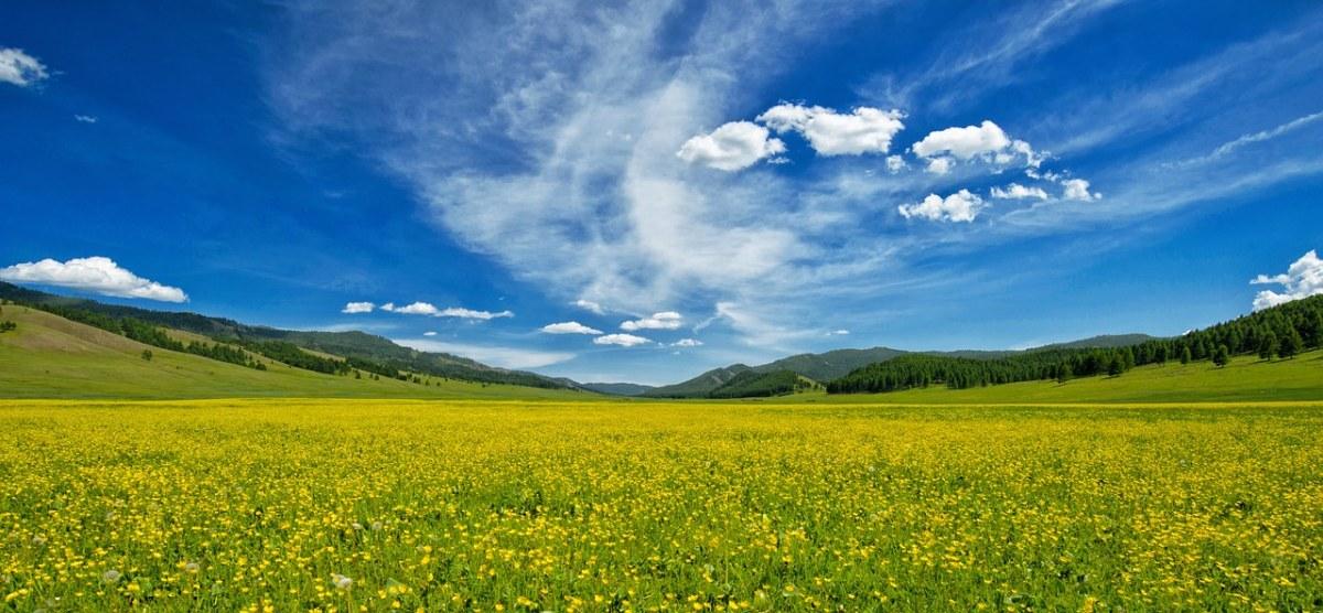 毛茛花海田园风景图片
