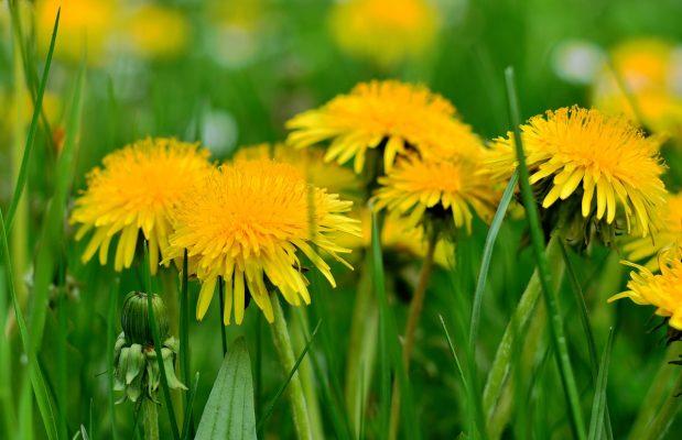 蒲公英、花粉、性质