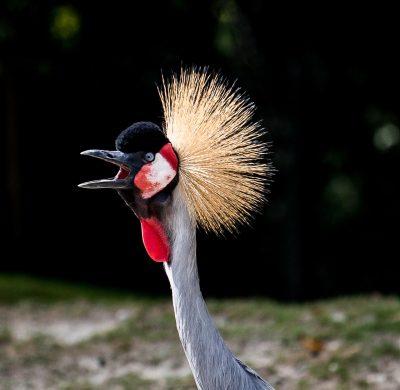 在叫唤的灰冠鹤头部特写