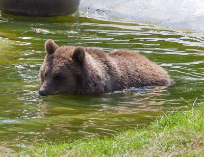 水中的棕熊