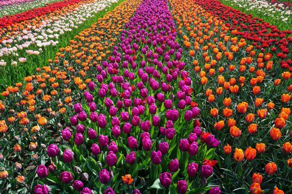 郁金香花圃