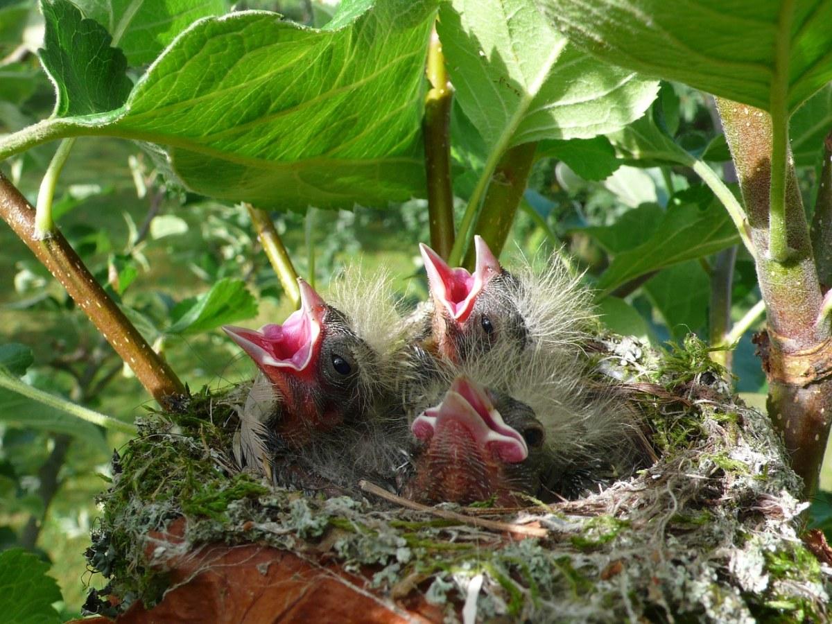 鸟窝里嗷嗷待哺的雏鸟图片