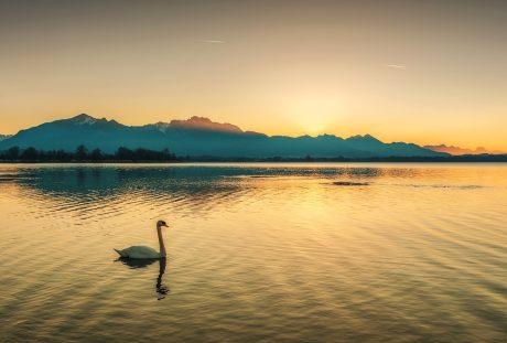 日落黄昏湖面上的一只天鹅