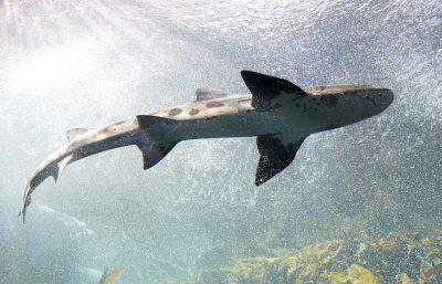 水下的鲨鱼